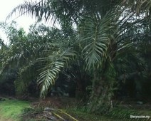 teriang triang road side 1500 acres oil palm, freehold